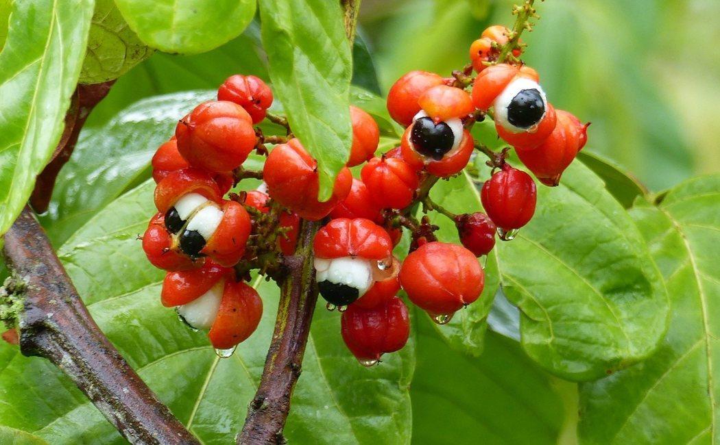 Beneficios y propiedades del guaraná