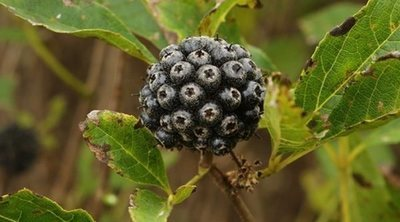 Eleuterococo, la planta medicinal contra la fatiga
